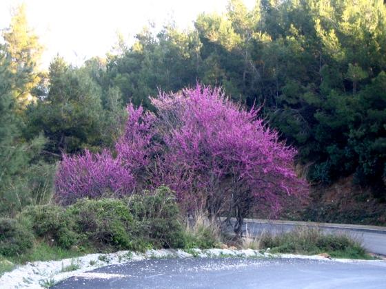 skiathos-spring-judas-tree2008-090